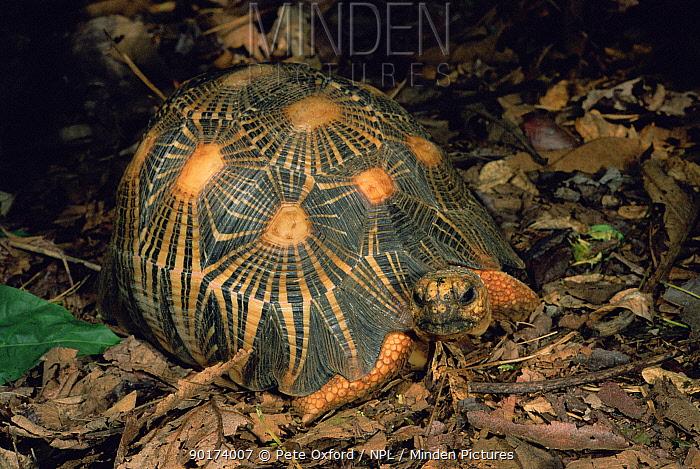 Radiated tortoise on forest floor (Geochelone radiata) Berentry PR, Magascar  -  Pete Oxford/ npl