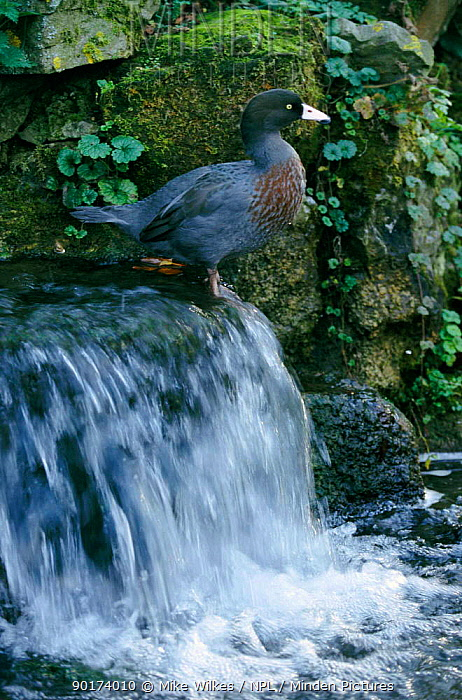 Blue duck above waterfall (Hymendaimus malacorhynchus) Arundel, Hampshire UK captive  -  Mike Wilkes/ npl