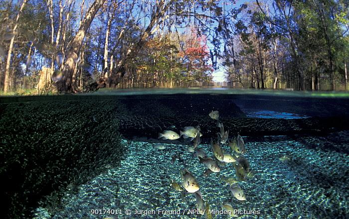 River Basslets (Grammidae) Florida, USA  -  Jurgen Freund/ npl