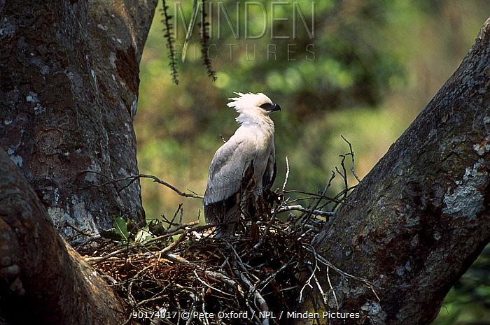 Crested eagle juvenile on nest (Morphnus guianensis) Puerto Maldonado Amazonia Peru  -  Pete Oxford/ npl