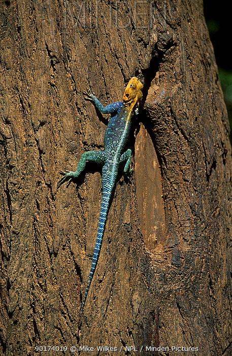 Agama lizard portrait (Agama agama)  -  Mike Wilkes/ npl