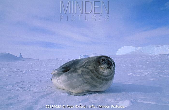 Weddell seal on ice (Leptomychotes weddelli) Antarctica  -  Pete Oxford/ npl