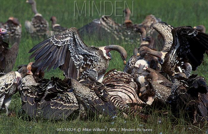 Ruppells griffon vultures feed on zebra carcass (Gyps rueppellii) Serengeti Tanzania  -  Mike Wilkes/ npl