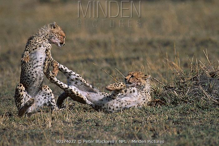 Cheetah cubs (6m-old) playing (Acinonyx jubatus) Masai mara NR Kenya  -  Peter Blackwell/ npl