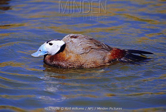 White headed duck, male (Oxyura leucocephala) captive  -  Rod Williams/ npl