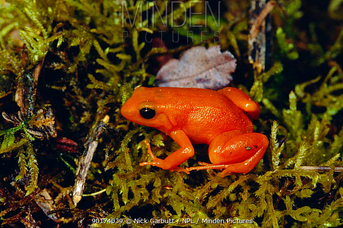 Golden mantella frog (Mantella aurantiaca) Torotorofotsy marsh, Madagascar  -  Nick Garbutt/ npl