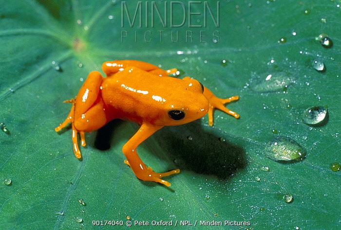 Golden mantella frog on leaf (Mantella aurantiaca) Perinet, Madagascar  -  Pete Oxford/ npl
