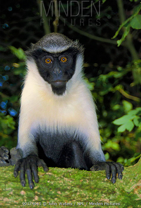 Diana monkey female (Cercopithecus diana) captive occurs West Africa  -  John Waters/ npl