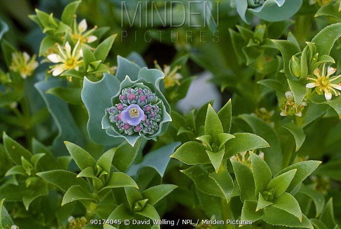 Oysterplant (Mertensia maritima) Hesketh Is Alaska  -  David Welling/ npl