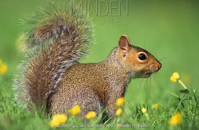 Grey squirrel (Sciurus carolinensis) UK  -  Colin Varndell/ npl