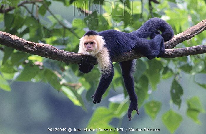 White faced capuchin monkey in tree (Cebus capuchinus) Costa Rica  -  Juan Manuel Borrero/ npl