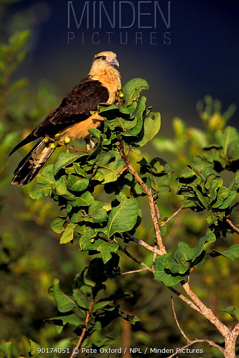 Yellow headed caracara (Milvago chimachima) Cerrado habitat Brazil  -  Pete Oxford/ npl
