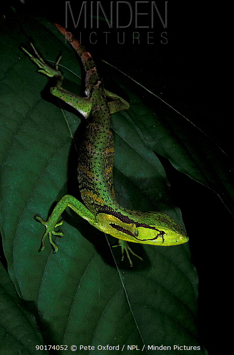 Iguanid lizard in rainforest (Polychrus liogaster) L Urubamba river Amazonia Peru  -  Pete Oxford/ npl