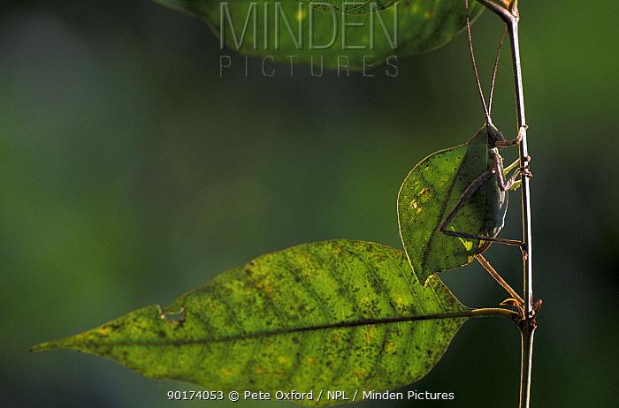 Katydid mimicing leaf (Tettigoniisae) (Cycloptera sp) Manu cloud forest Peru  -  Pete Oxford/ npl