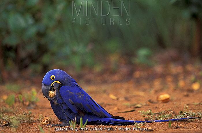 Hyacinth macaw feeding on palm nut (Andodorhynchus hyacinthinus) Cerrado Brazil  -  Pete Oxford/ npl