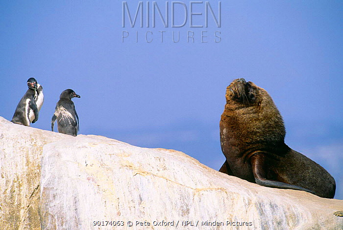 Humboldt penguins (Spheniscus humboldti) and South American, Patagonian sealion bull (Otaria flavescens) Peru  -  Pete Oxford/ npl