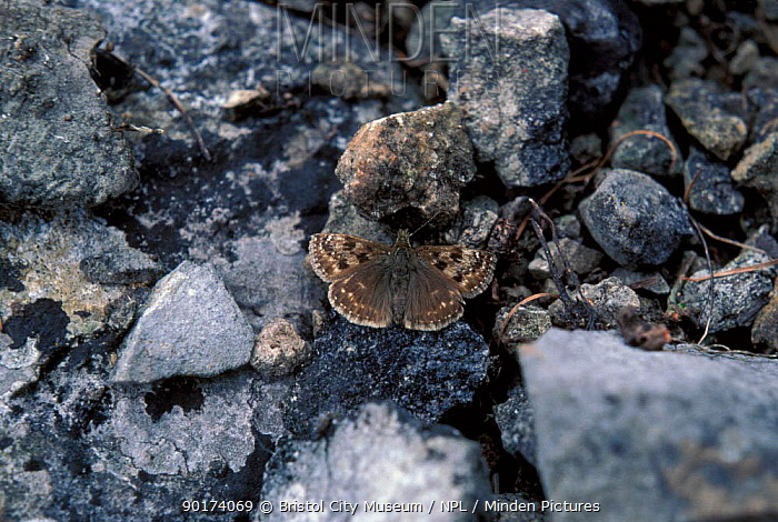 Dingy skipper butterfly camouflaged on stones (Erynnis tages) England  -  Bristol City Museum/ npl
