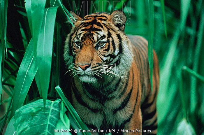 Juvenile Sumatran tiger (Panthera tigris sumatrae) Indonesia, captive  -  Barrie Britton/ npl