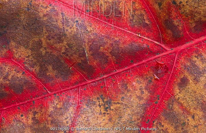 Red Oak (Quercus rubra) leaf close up, changing colour, Belgium  -  Bernard Castelein/ npl
