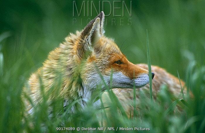 Red fox (Vulpes vulpes) Germany  -  Dietmar Nill/ npl
