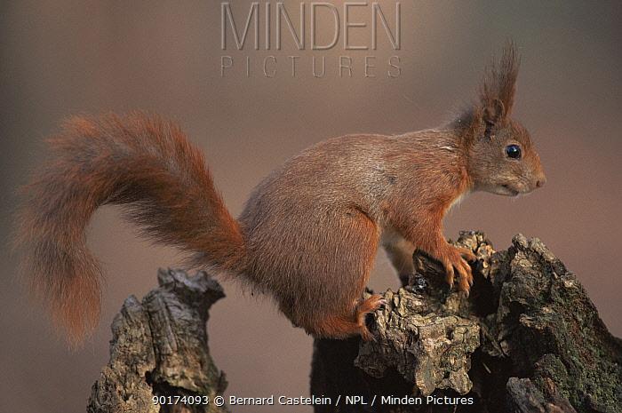Red squirrel portrait, Belgium (Sciurus vulgaris)  -  Bernard Castelein/ npl