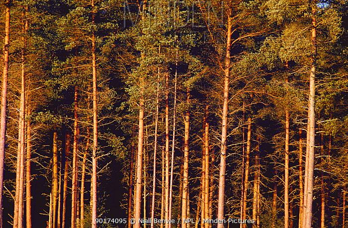 Scots pine (Pinus sylvestris) plantation, Scotland, UK  -  Niall Benvie/ npl