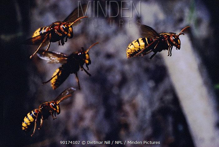 Four Hornets in flight, Germany  -  Dietmar Nill/ npl