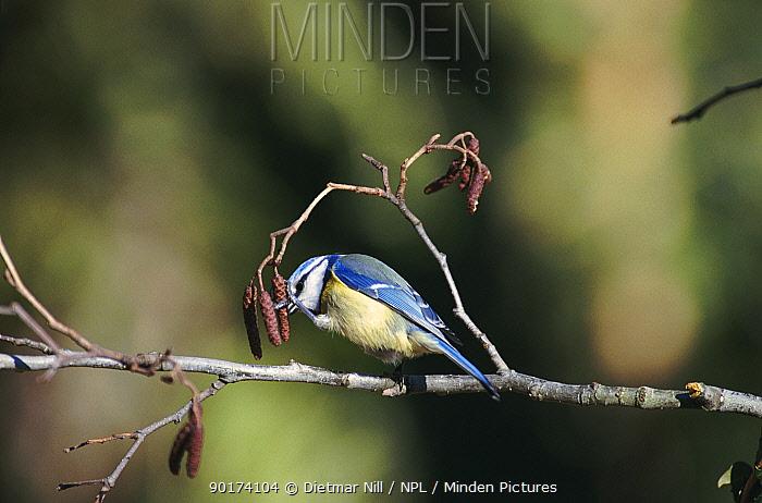 Blue tit feeding (Parus caeruleus) Germany  -  Dietmar Nill/ npl
