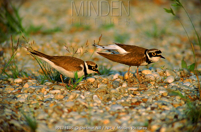 Little ringed plover courting pair, Germany, Europe  -  Dietmar Nill/ npl