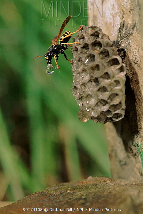 Paper wasp (Polistes gallicus) cooling nest with water Germany, Europe  -  Dietmar Nill/ npl