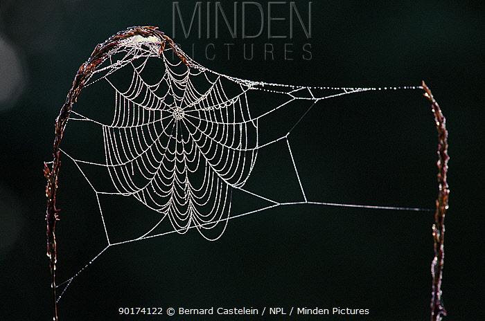 Spider web covered in dew, Belgium  -  Bernard Castelein/ npl