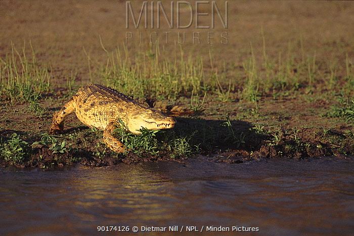 Nile crocodile (Crocodylus niloticus) Selous NP, Tanzania, East Africa  -  Dietmar Nill/ npl