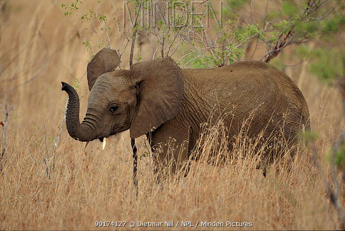 Elephant baby Tanzania  -  Dietmar Nill/ npl