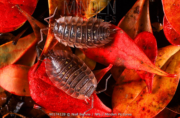 Woodlice on leaf litter, Scotland UK  -  Niall Benvie/ npl