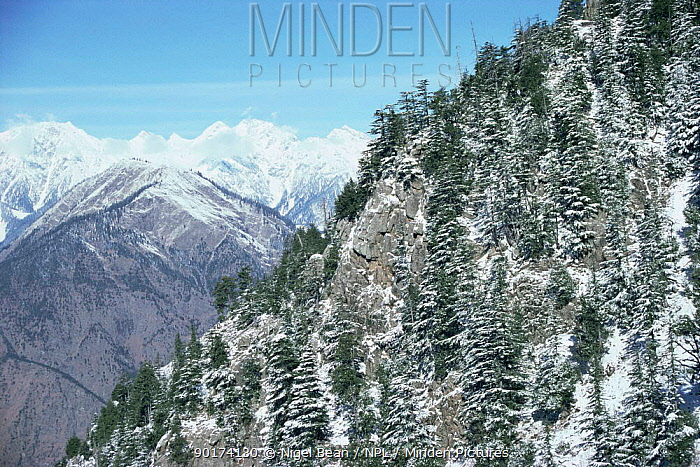 Snow covered trees and mountains Palas Valley, Pakistan  -  Nigel Bean/ npl