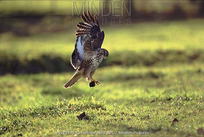 Common buzzard (Buteo buteo) stooping Germany, Europe  -  Dietmar Nill/ npl