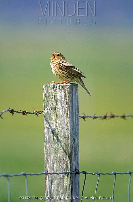 Corn bunting singing on post, UK  -  David Tipling/ npl