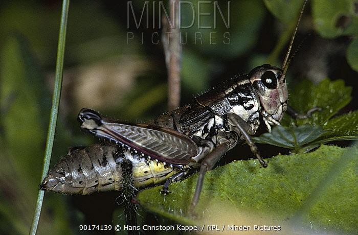 Female Grasshopper (Podisma pedestris) Yugoslavia  -  Hans Christoph Kappel/ npl