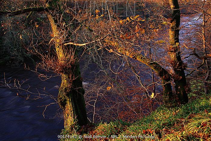 English oak tree (Quercus robur) in ancient wood by River Esk Scotland, UK, Europe,  -  Niall Benvie/ npl