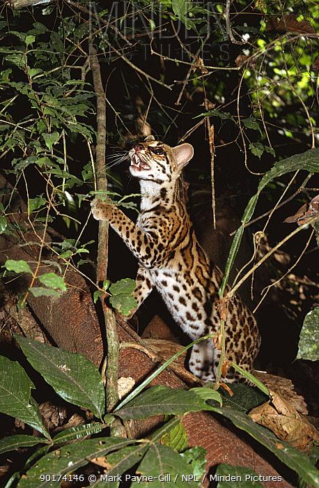 Semi-tame Margay (Felis wiedi) inspecting vine, Gamboa, Panama 1994  -  Mark Payne-Gill/ npl