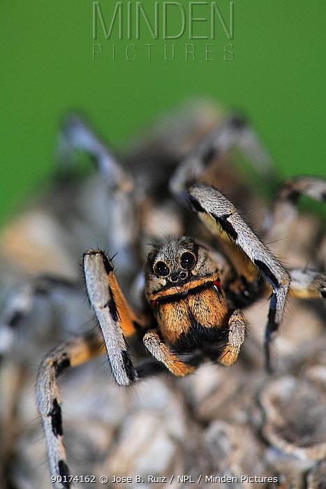 Wolf spider (Lycosa fasciventris) portrait, Spain  -  Jose B. Ruiz/ npl