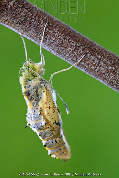 Large white, Cabbage white butterfly (Pieris brassicae) adult emerging from pupa, Spain  -  Jose B. Ruiz/ npl