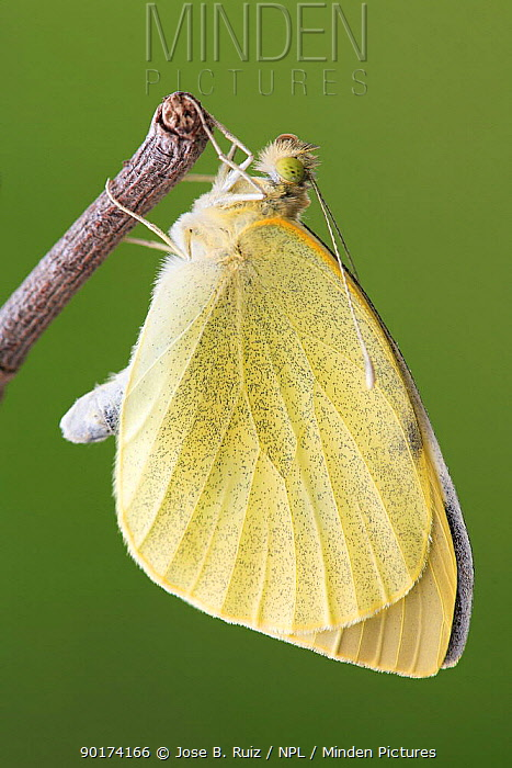 Large white, Cabbage white butterfly (Pieris brassicae) hanging off branch, Spain  -  Jose B. Ruiz/ npl