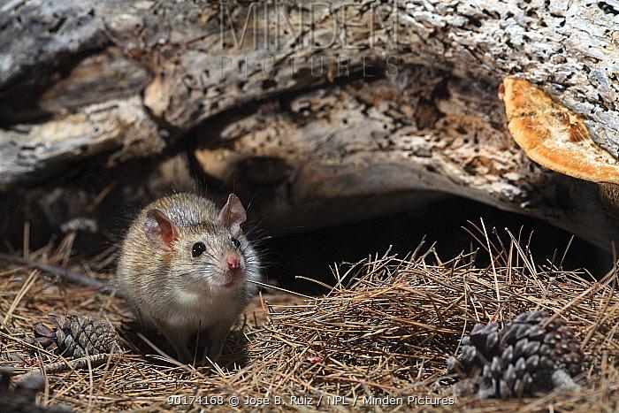 Brown rat (Rattus norvegicus) with pine cone and needles, Spain  -  Jose B. Ruiz/ npl