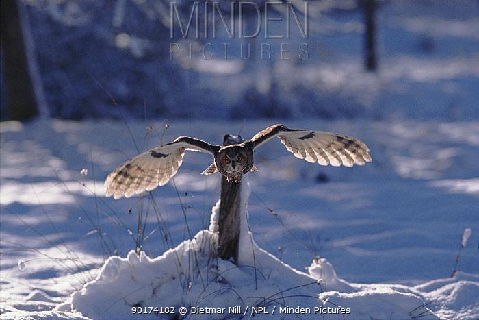 Long Eared Owl flying, winter, Germany  -  Dietmar Nill/ npl