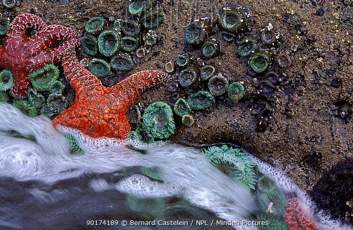 Ochre seastars on rocks along coast, Olympic NP, Washington, USA  -  Bernard Castelein/ npl