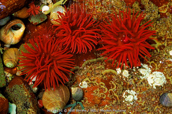 Beadlet anemone (Actinia equina) with periwinkles Mull, Scotland, UK, Europe  -  Niall Benvie/ npl
