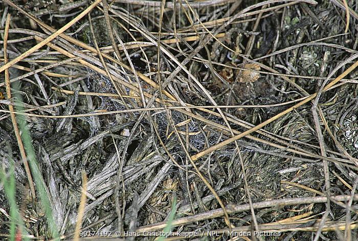 Ladybird spider's nest (Eresus cinnaberinus) Germany  -  Hans Christoph Kappel/ npl