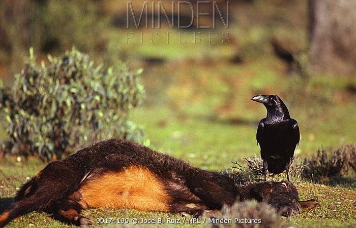 Raven (Corvas corax) scavenging dead goat, Spain  -  Jose B. Ruiz/ npl