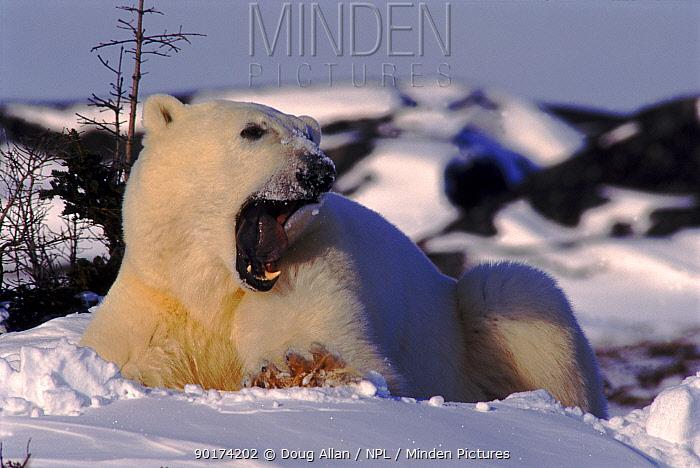 Polar bear adult yawning; note black tongue Churchill, Canada  -  Doug Allan/ npl